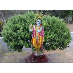 Семена Тулси, Базилик Священный Туласи, чёрные Кришна Туласи, Tulasi Seeds, Krishna Tulasi Tulasi Devi Ocimum Sanctum Tulsi