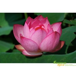 Лепестки Лотоса сушеные, Pink Lotus, (Розовый Лотос), Аюрведа