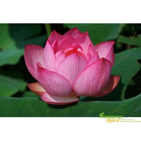 Семена Лотоса, 10 шт, Lotus seeds.
